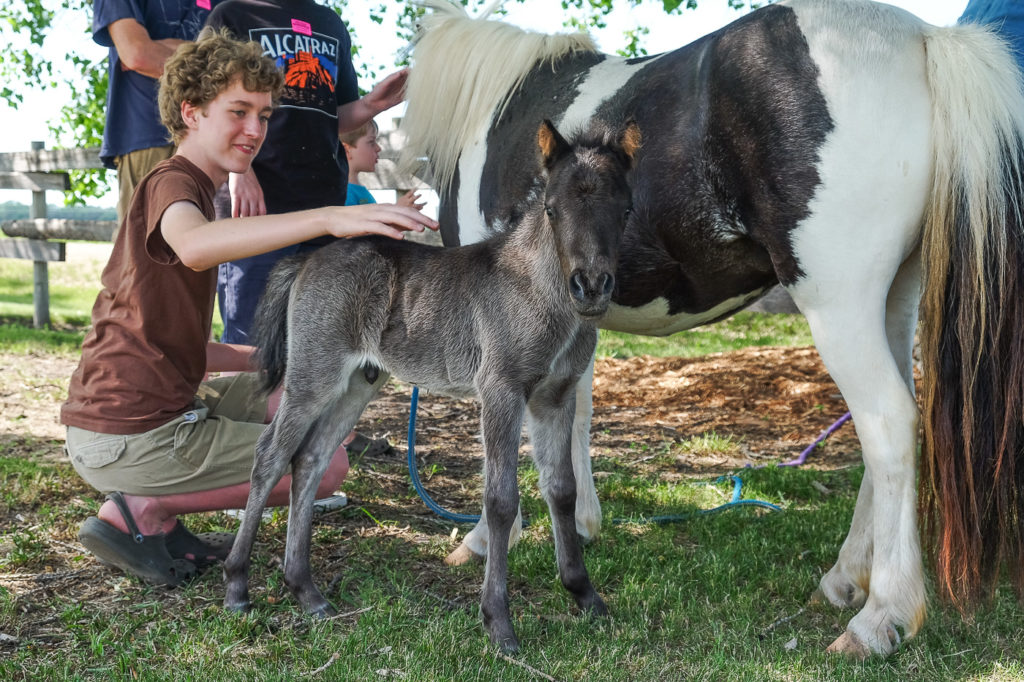 petting a foal and miniature horse