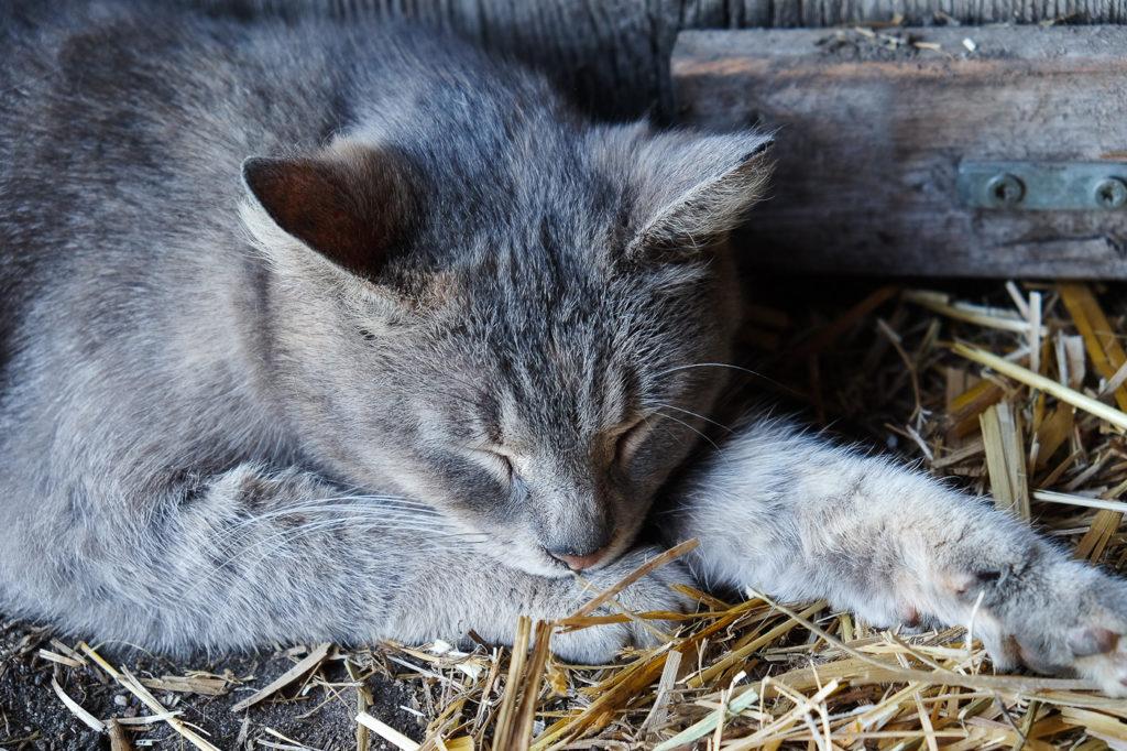 Mia the barn cat